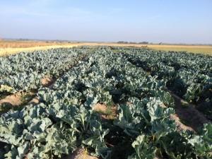 Saline crops